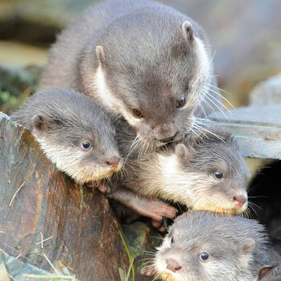 An Asian Short-clawed Otter family at Martin Mere