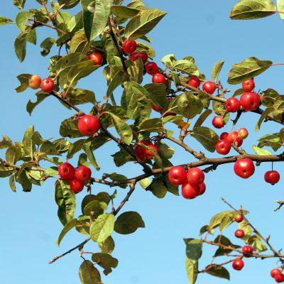 Crabtree Apples