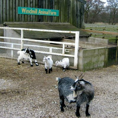 Four goats at Windmill Animal Farm