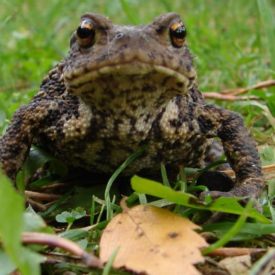 Toad at Mere Sands Wood
