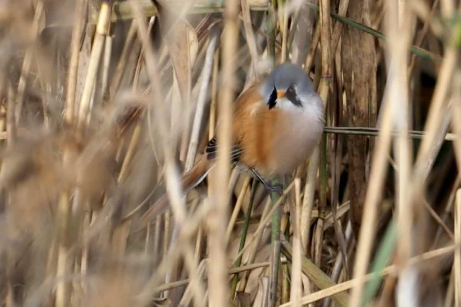 Rare Birds breed for the first time at WWT Martin Mere